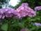 ご近所の紫陽花 その4