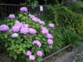 ご近所の紫陽花 その42