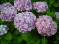ご近所の紫陽花 その43