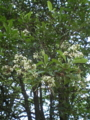 珊瑚樹の花
