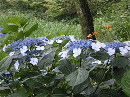 ご近所の紫陽花 その6/額紫陽花2