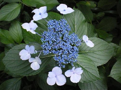 ご近所の紫陽花 その6/額紫陽花22
