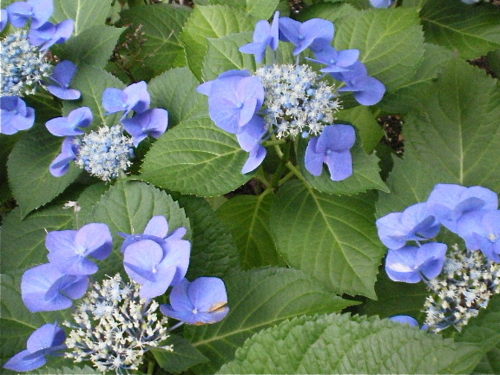 ご近所の紫陽花 その6/額紫陽花23