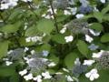 ご近所の紫陽花 その6/額紫陽花24