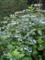 ご近所の紫陽花 その6/額紫陽花25