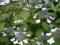 ご近所の紫陽花 その6/額紫陽花26
