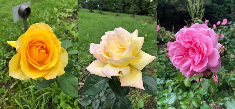 ランニング中に出会った豊平公園のバラたち