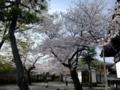 [桜]妙蓮寺