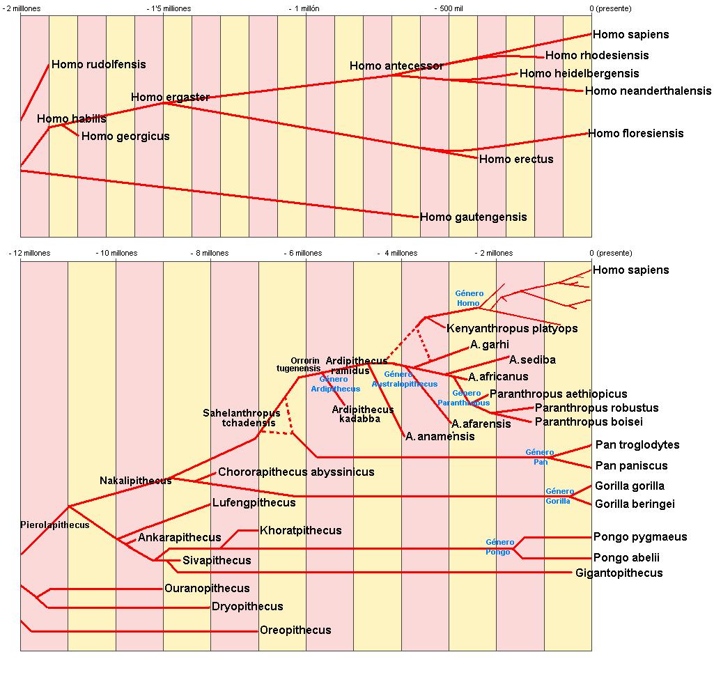 ヒト科分岐図