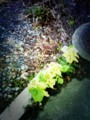 Hello Butterbur sprout.