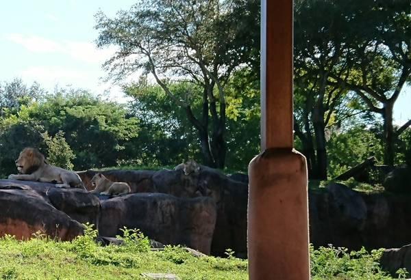 キリマンジャロサファリのライオン