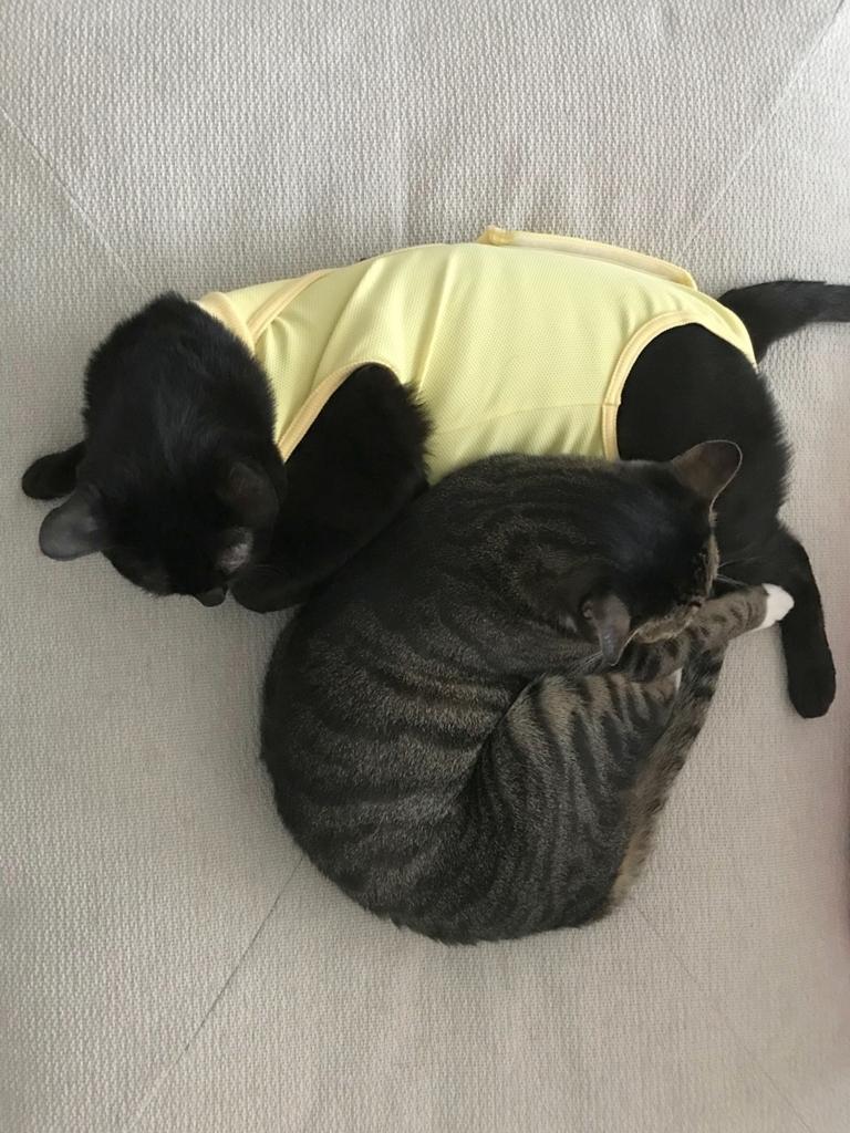 エリザベスウェアを着た黒猫と白サバ猫