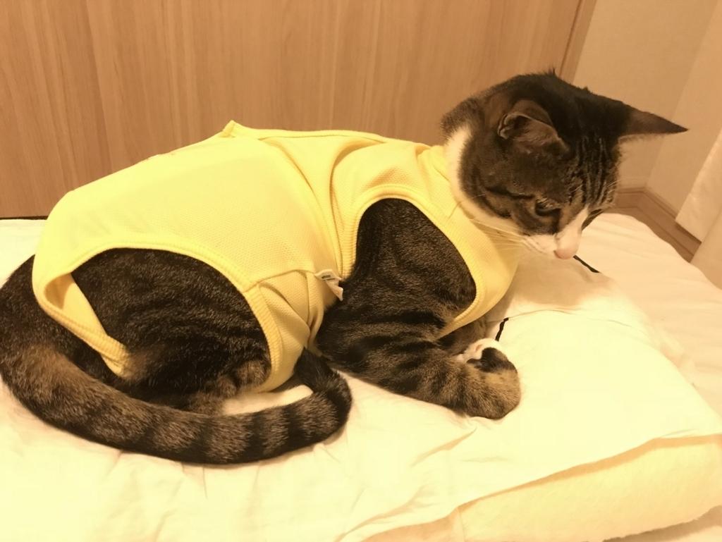 エリザエスウェアを着た白サバ猫