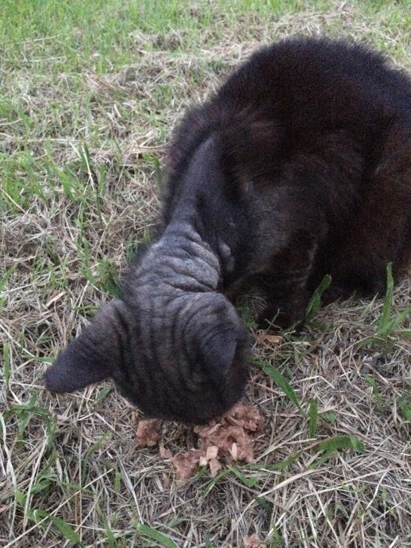 疥癬にかかった猫