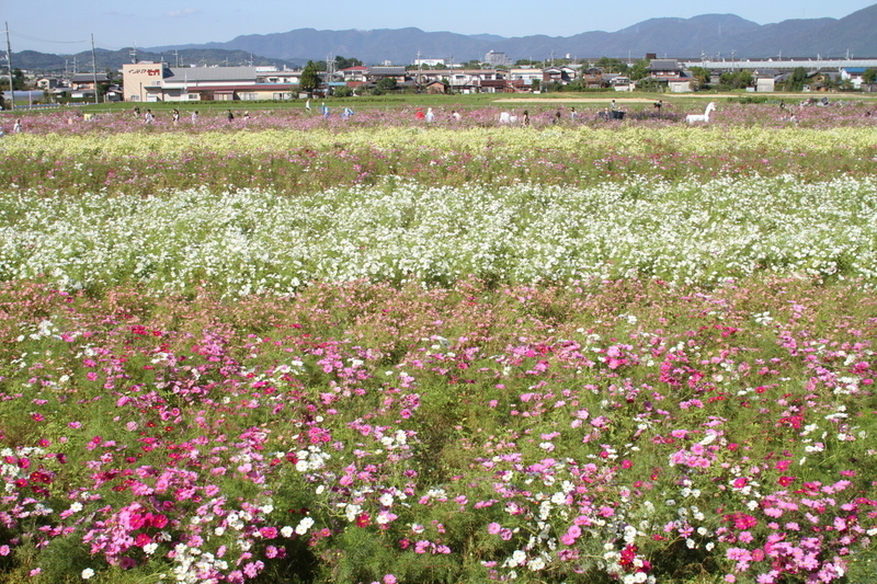 京都丹波/亀岡 夢コスモス園