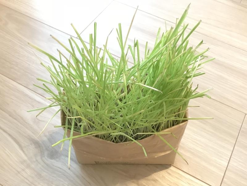 無印良品猫草栽培セット