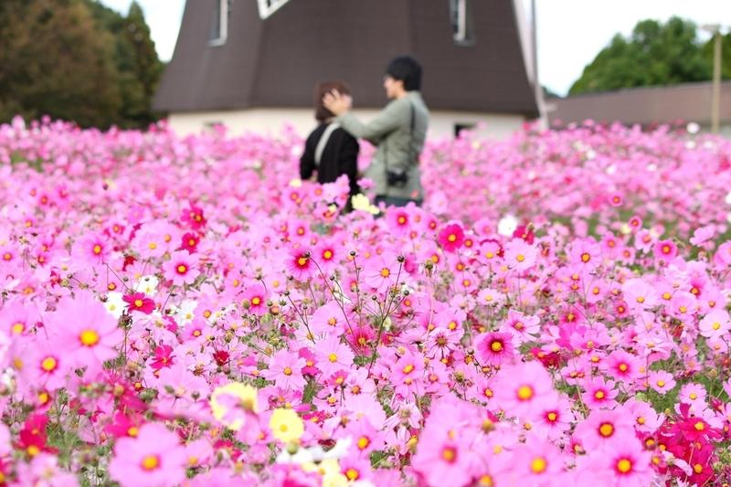 鶴見緑地公園風車の丘コスモス