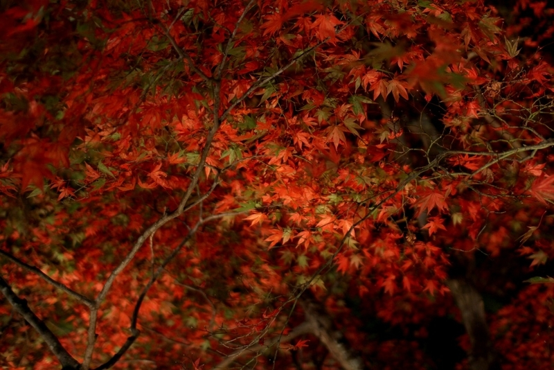 宝厳院の紅葉夜間ライトアップ