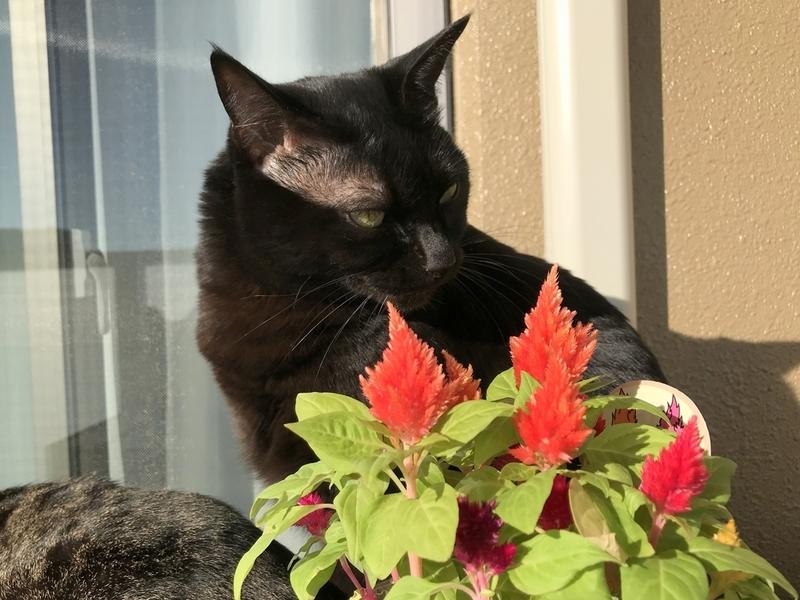 猫にも安全な花『ケイトウ(鶏頭)』