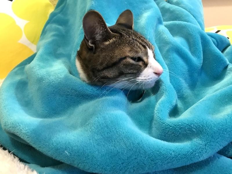 着る毛布にくるまる猫