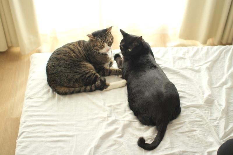 猫じゃらし(エノコログサ)で遊ぶ猫たち