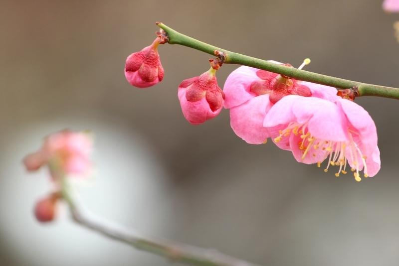 大阪城梅林で梅見
