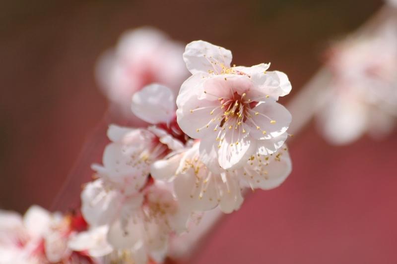 万博記念公園『梅まつり』