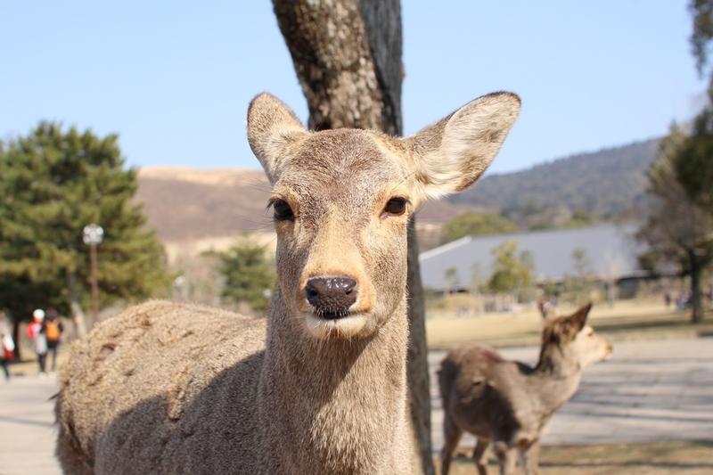 奈良公園で鹿にナメられやすい人の特徴と、鹿と安全に接するための方法
