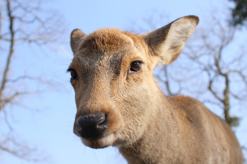 奈良公園で鹿にナメられやすい人の特徴