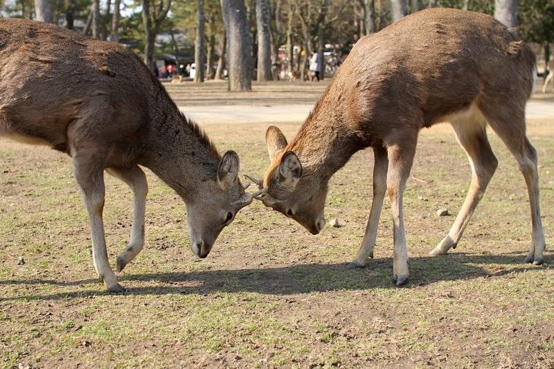 奈良公園で鹿にナメられやすい人の特徴と、鹿と安全に接するための方法と、鹿と安全に接するための方法