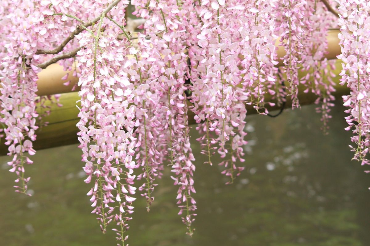 【奈良】春日大社・萬葉植物園『藤の園』で20種類の藤を眺める