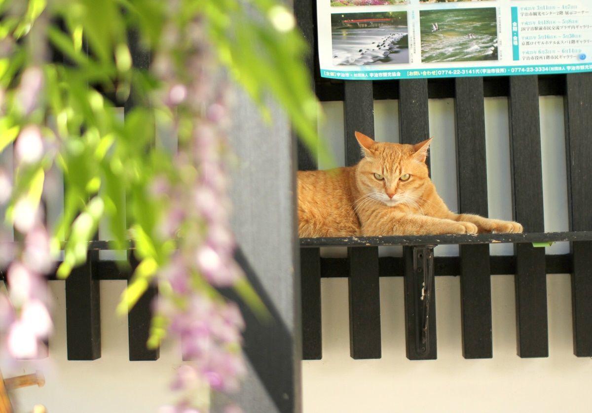 【京都・宇治】平等院の藤棚を眺める!藤の見頃は4月下旬
