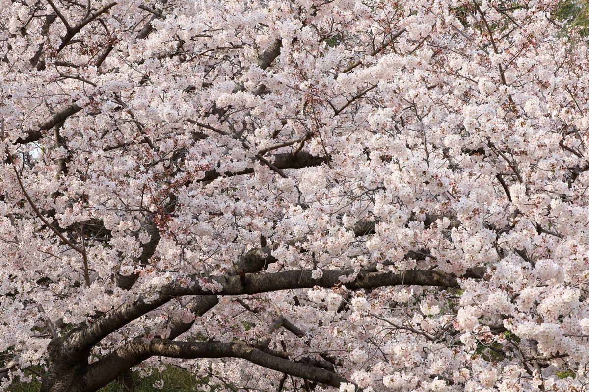 【大阪・鶴見緑地】4月の『風車の丘大花壇』はチューリップ&ネモフィラが満開!
