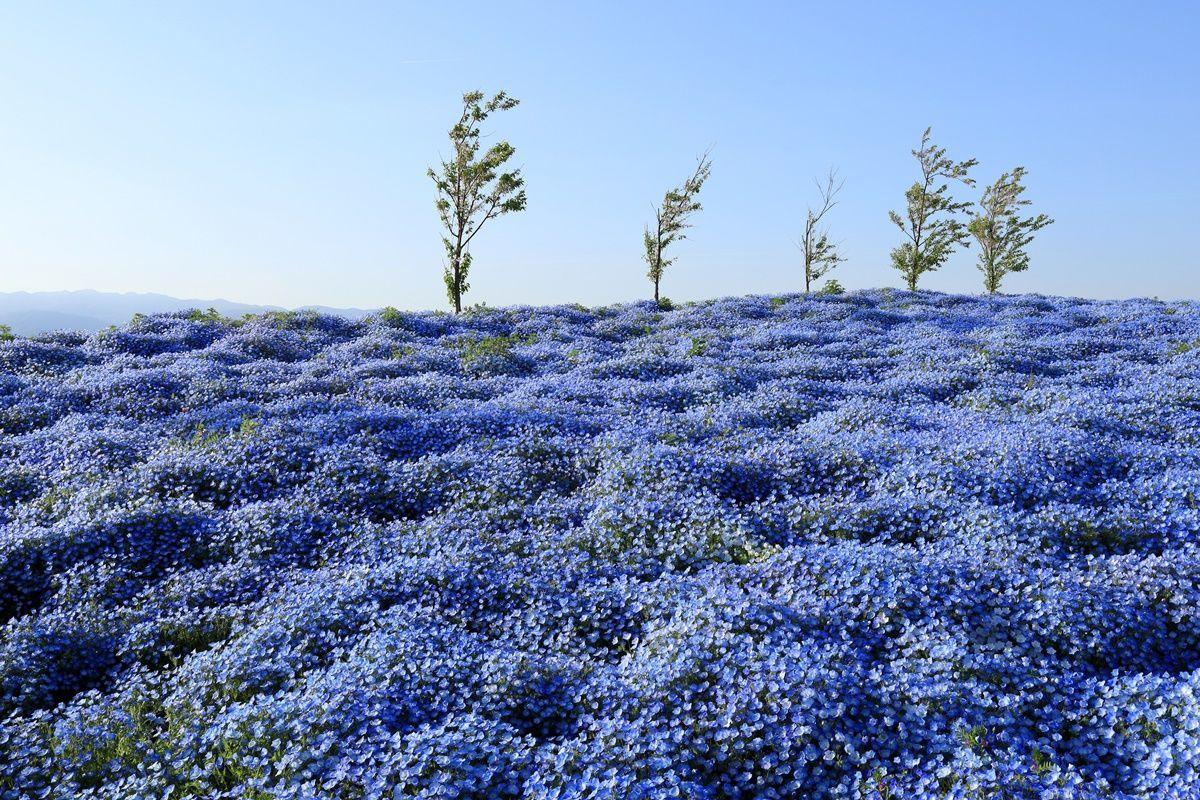 【大阪・舞洲】『ネモフィラ祭り2019』の感想!5月6日まで開催