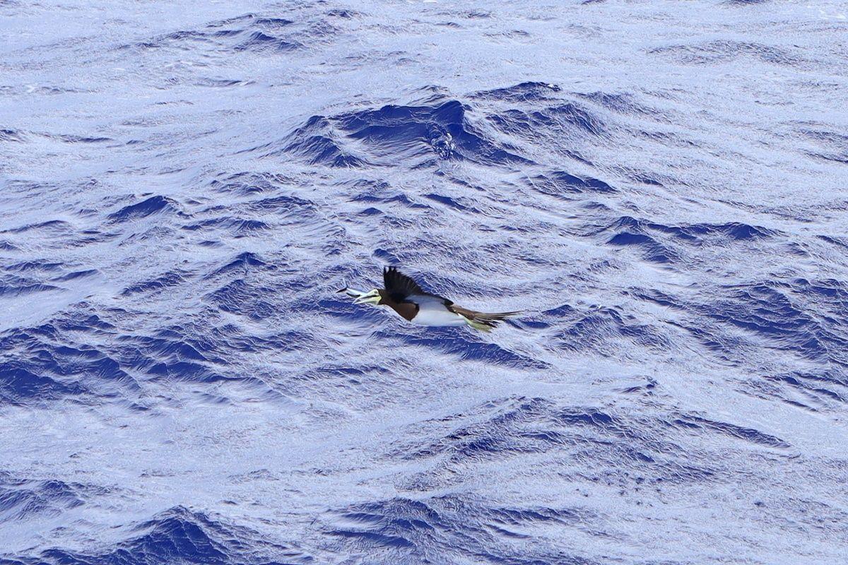 【飛鳥Ⅱ 乗船記⑥乗船3日目】2019年ゴールデンウィーク サイパン・グアムクルーズ 10泊11日 カツオドリ