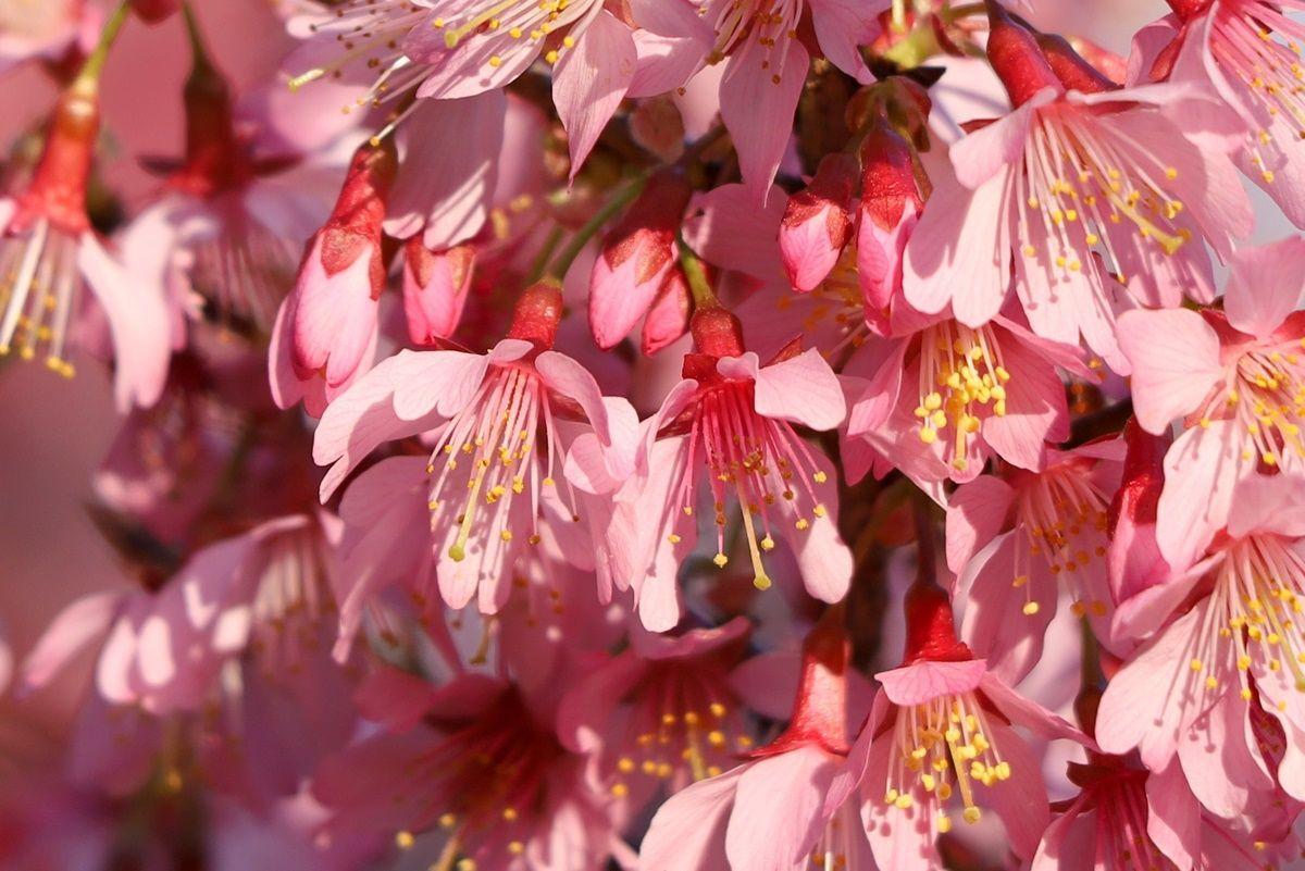 2月・3月に満開になる早咲きの桜『オカメ桜』『河津桜』