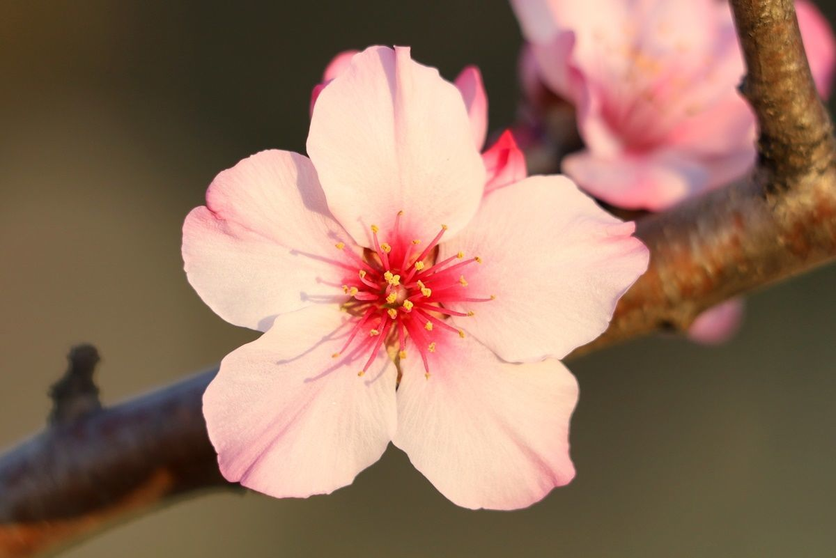 【大阪・鶴見緑地】桜そっくり!珍しいアーモンドの花でお花見