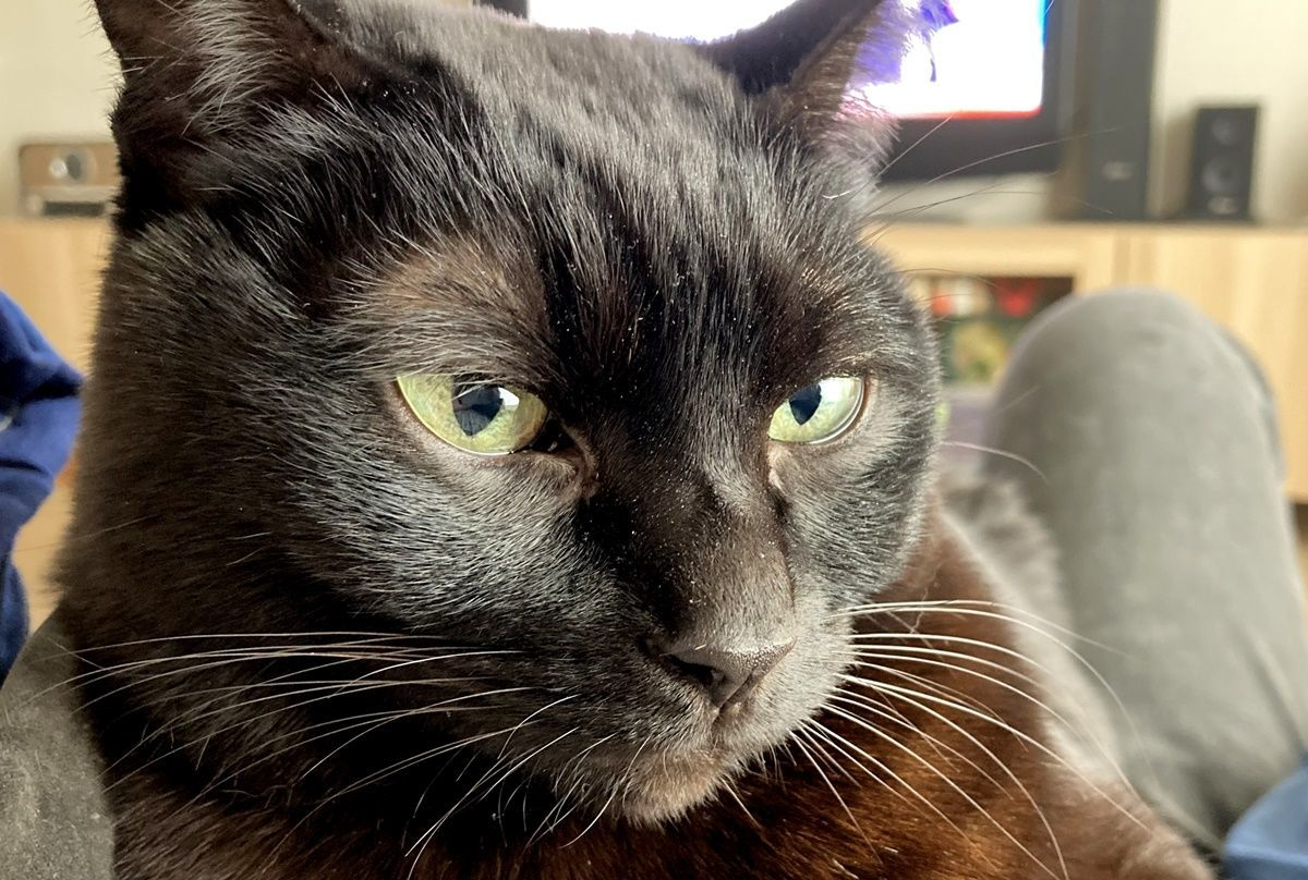 黒猫に連続で尿トラブル発生!血尿からの膀胱炎発症