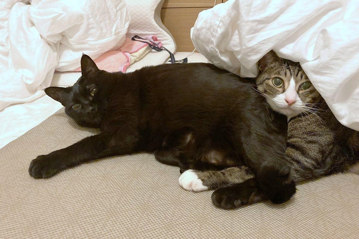 動物病院から帰ったサバ白が黒猫に威嚇された話