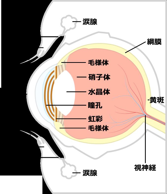 眼球の構造