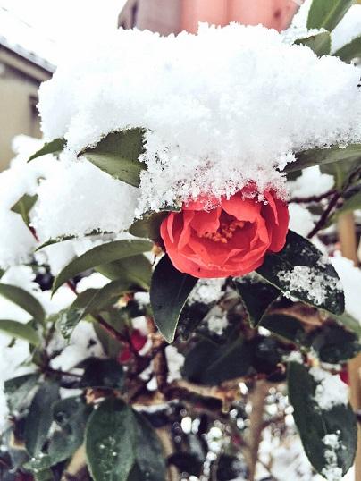 これは雪景色の中の椿の写真です