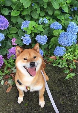 f:id:dog_life_saving:20180625154508j:image