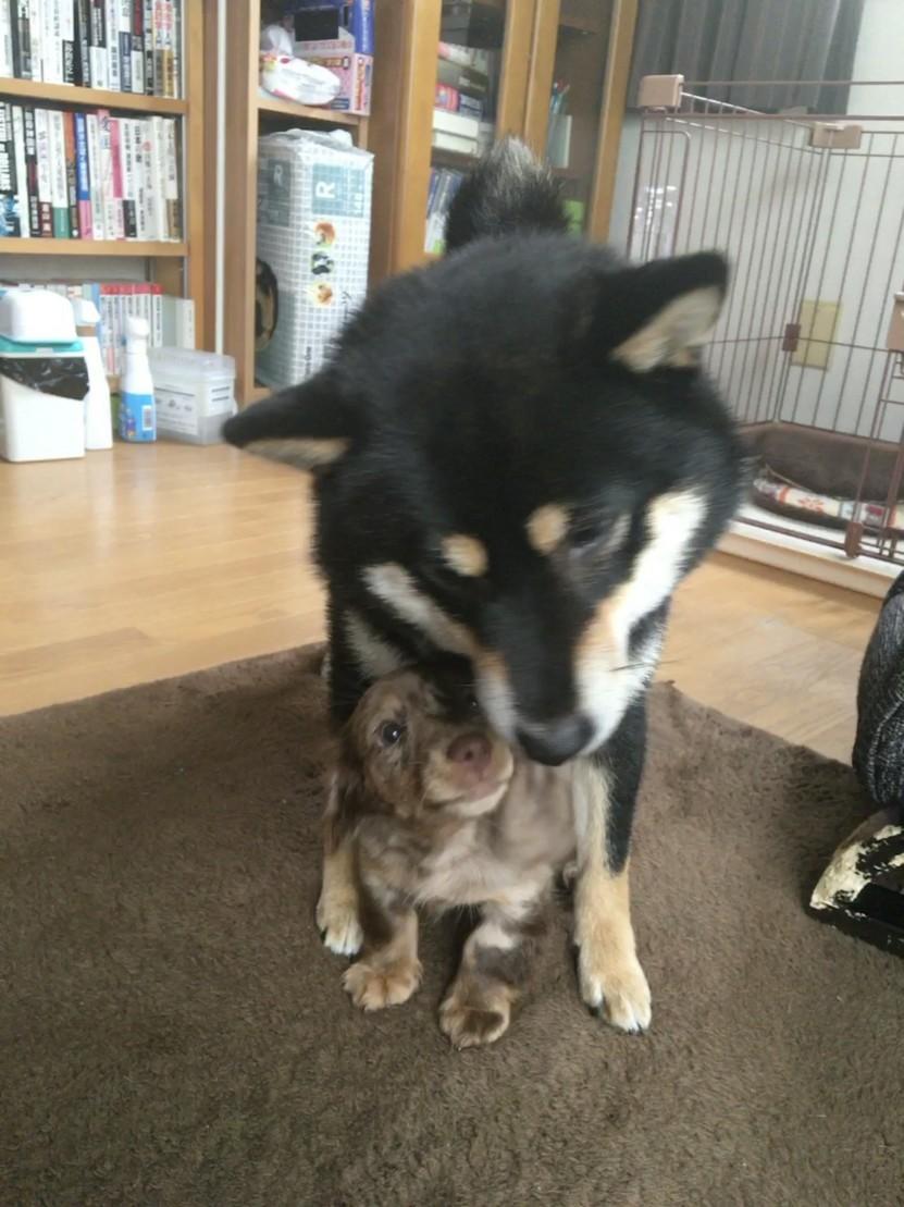 柴犬とダックスフンド
