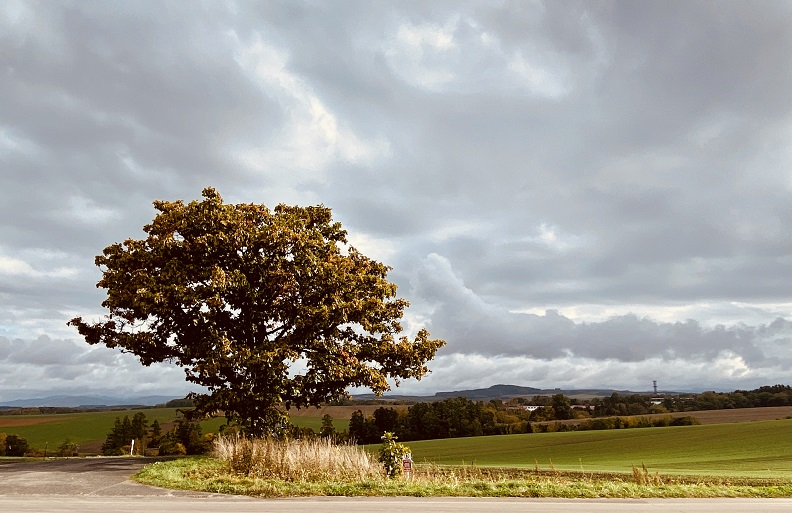 美瑛「セブンスターの木」