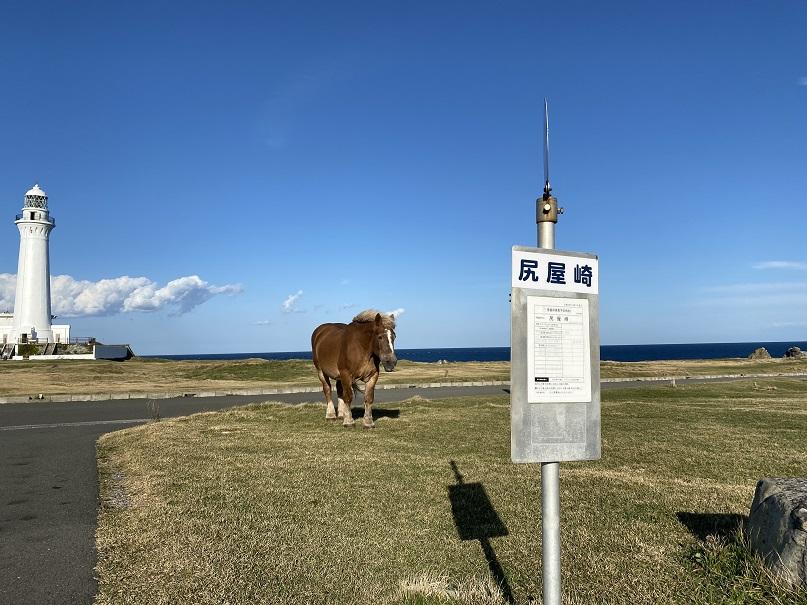 尻屋埼灯台と寒立馬。馬がうろうろ放牧されてる。