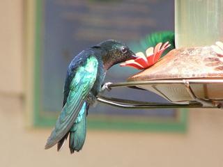 SugarSyncの鳥 ハチドリ