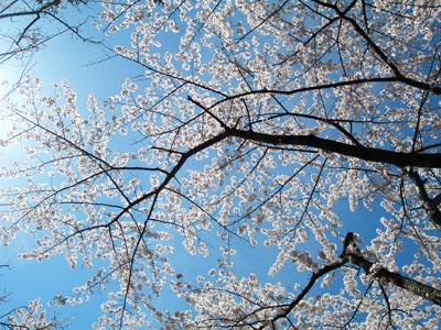 Sakura2008(Psudo)