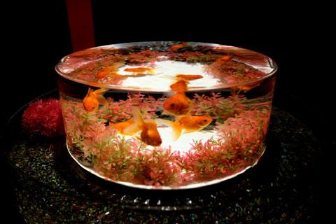 アートアクアリウム金魚品評