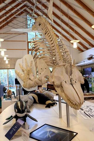 シャチ骨格標本