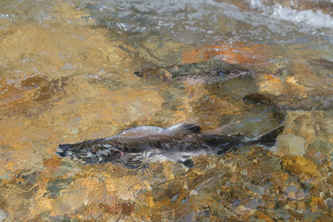 鮭とカラフトマス